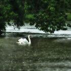 Swan Lake by greyrose