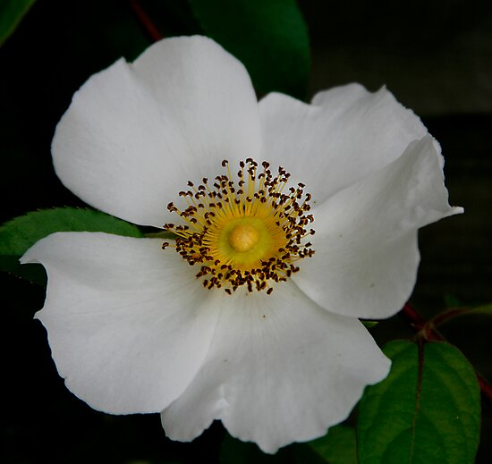 Cherokee Rose By Jonicool Redbubble