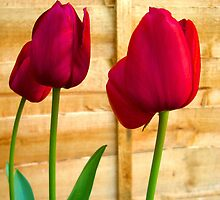 Red Tulips ..  by Kate Towers IPA