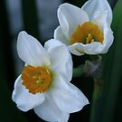 Daffodil 04 by Sharon Perrett