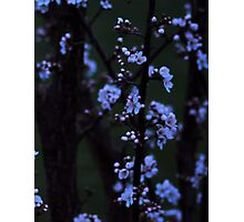 Nightfall Blossoms Photographic Print