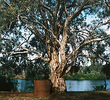 Murray River Gum by Graham Lea