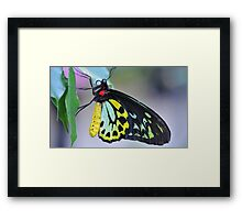 Butterfly Cairns Birdwing III Framed Print