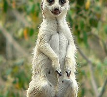 Happy Meerkat by Tom Newman