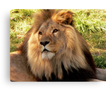Lion II  Canvas Print