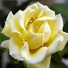 Helmut Schmidt rose by Darryl Beer