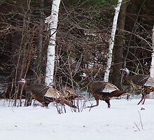 spring turkeys by steve keller
