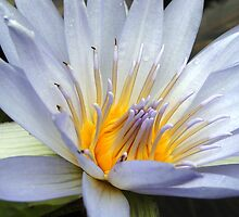 Spanning Waterlilly by trittium