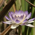 waterlilly by valent