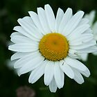 Little daisy by TriciaDanby
