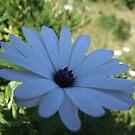 White Daisy (Original) by MissA