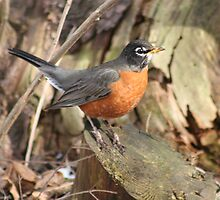 Robins Are Back by declown