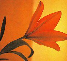 THE LILIUM - Liliaceae by Magaret Meintjes