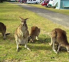 Kangaroos make great camping companions by Adam Cole