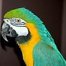 A Loud Macaw  by Larry Llewellyn