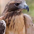 Redtail Hawk by John Wright