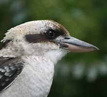 Kookaburra sittin' on the old Hills Hoist! - De Kookaburra Lacht!  by MrJoop