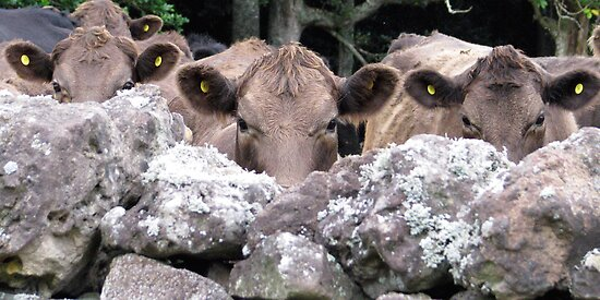 The Moo Sisters by Andrew S