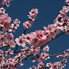 Blossoms by gisondan