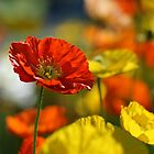 Iceland poppies by gisondan