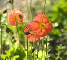 Poppie Drifts © by Mary Campbell