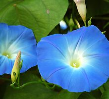 Morning Glories by Anne Smyth