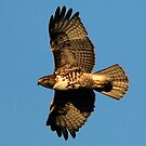 Immature Red-tailed Hawk in Flight by Ryan Houston