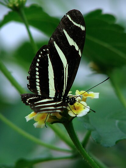 The Zebra Longwing by Sharon Perrett