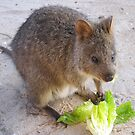 Breakfast time!   Rottnest Island 6 by Susan Moss