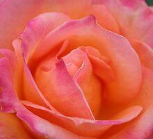 Peach Rose by notsoblondesvk