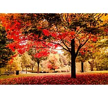 Red Maple in Larz Anderson park. Photographic Print