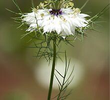 White Nigella Damascena, Love-in-a-mist or Devil-in-the-Bush by Debbie Moore