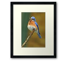 Puffed up and Proud Framed Print