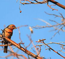 House Finch Male - Blue Skies by Ryan Houston