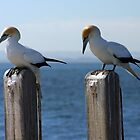 Wildlife : Birds - Australian Gannet 'Sula Serrator' by boudidesign