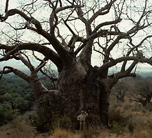 The Mighty Baobab  by bertspix
