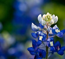 Bluebonnet in the Field by AineKendall