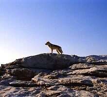 Wolf On A Rock by Asoka