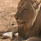 Resting Lion by Steve Bulford