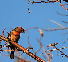 House Finch by Ryan Houston