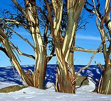 Alpine snowgum trio in winter by Speedy