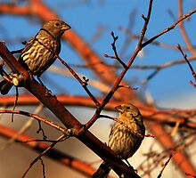 House Finches in a Tree by Ryan Houston