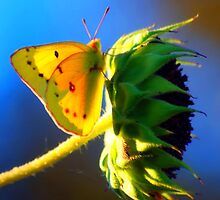 Butterfly Kisses by Wieberg Photography