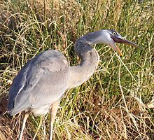 Great Blue Heron - Silly Face by Sheryl Hopkins