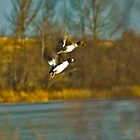 mating ducks take flight from man by jlukyn