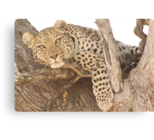 Spotted in Tree Canvas Print