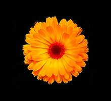 Marigold Flower by fantasytripp