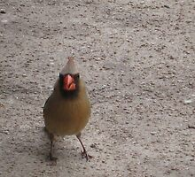 Female Cardinal by Kadava
