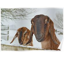 Goats in the snow  Poster