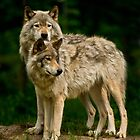 Timber Wolves - Gray Spirit Of The Forest 12 by WolvesOnly